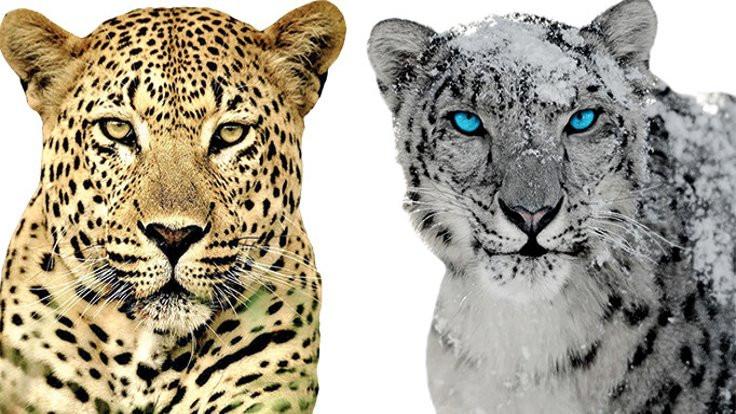 İklim değişti leoparlar karıştı