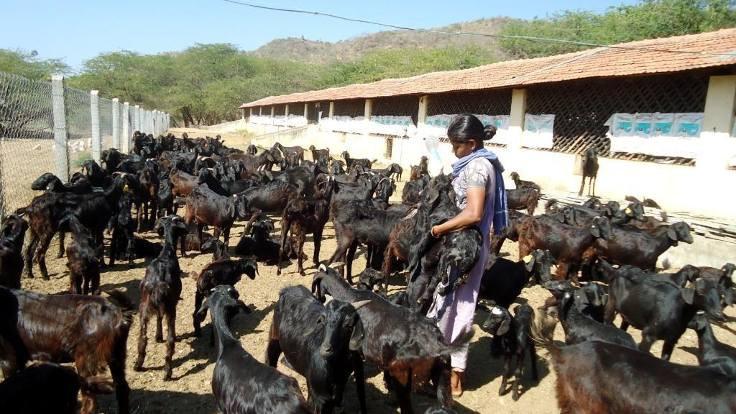 Keçi köyü kuran çevreci kadınlar