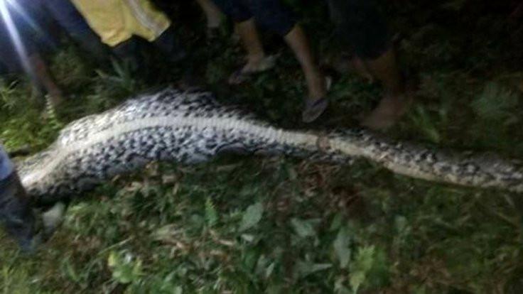 7 metrelik yılan insan yuttu!