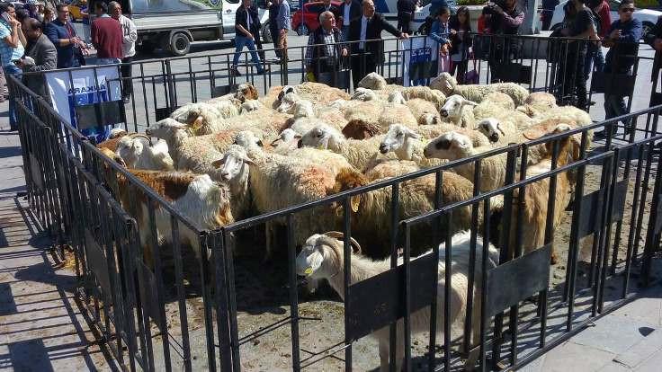 Kızılay'da koyun sürüsü