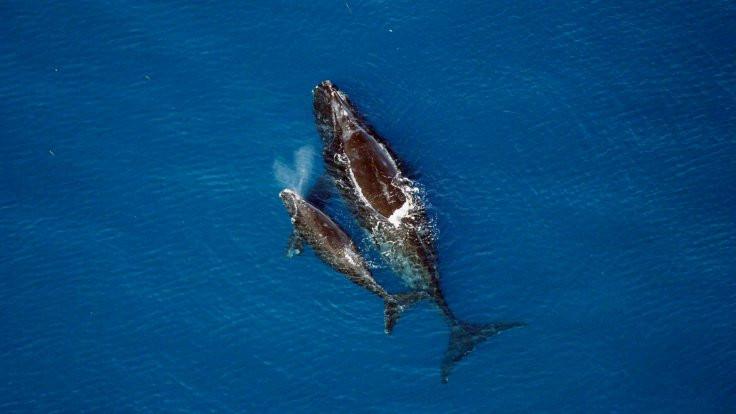 Balinalar 'çağ gereği' büyümüş!