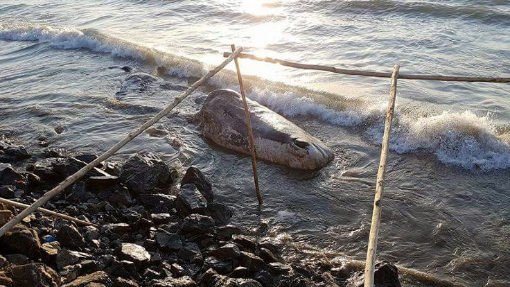 Beyaz balina kıyıya vurdu