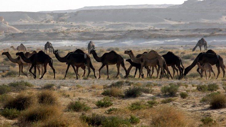 Katar krizi yüzünden yüzlerce deve telef oldu