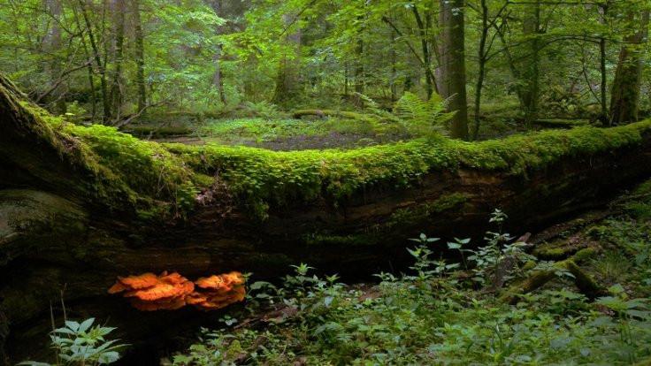 En eski ormanda ağaç kesimi yasaklandı