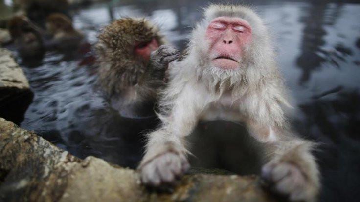 Oxford'un aşısı maymunları iyileştirdi