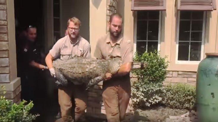 Harvey Kasırgası'nda 3 metrelik timsah eve sığındı