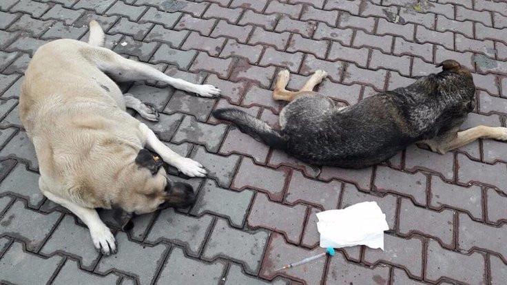 Eyüp'te 100'den fazla köpeğin toplanması tepki çekti