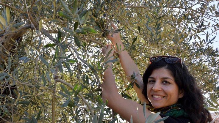 Otoyoldan kurtarılan 1200 yıllık ağaç zeytin verdi!
