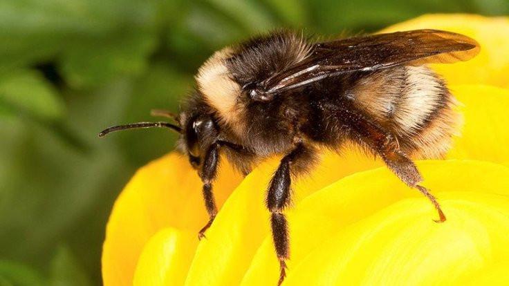 Arılar 57 farklı zehire maruz kalıyor