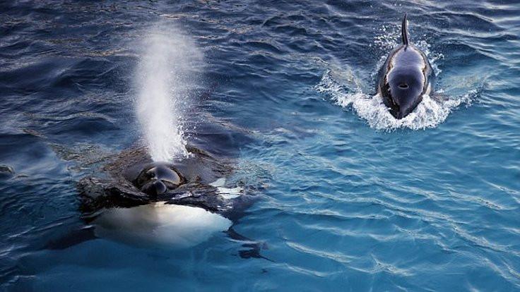 'Merhaba' diyen katil balina!
