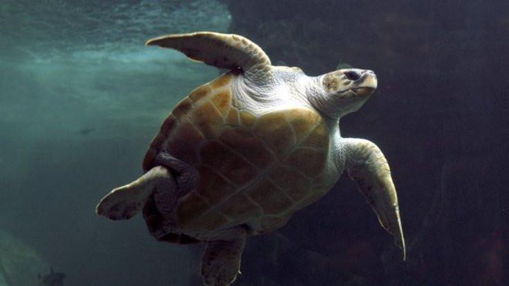 Caretta carettalar kirli denizlerde plastik yutuyor