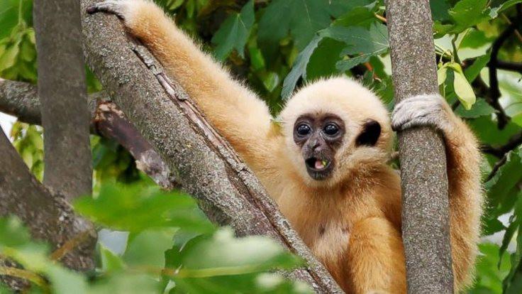 Tarihi mezardan soyu tükenmiş maymun çıktı
