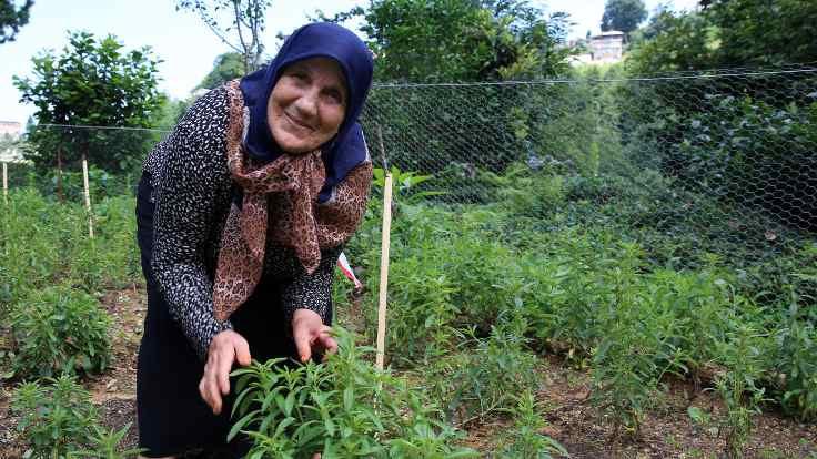 Karadeniz'in yeni ürünü: Stevia