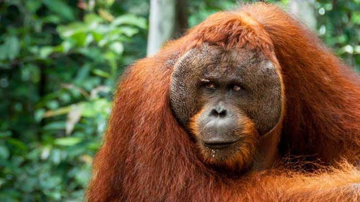 Orangutanlar yemek için telleri kanca yapıyor