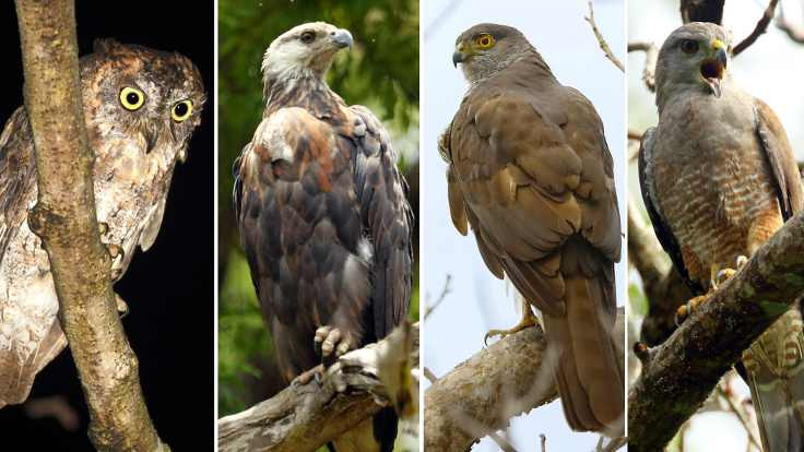 Yırtıcı kuşların soyu tehlikede