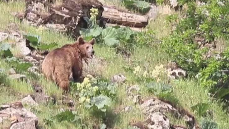 Uyanıp yemek arayan boz ayı görüntülendi