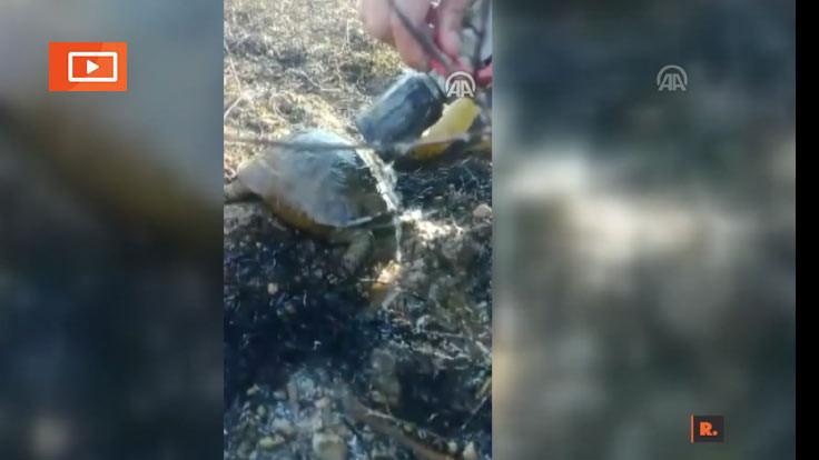 Yangından sonra su içen kaplumbağa
