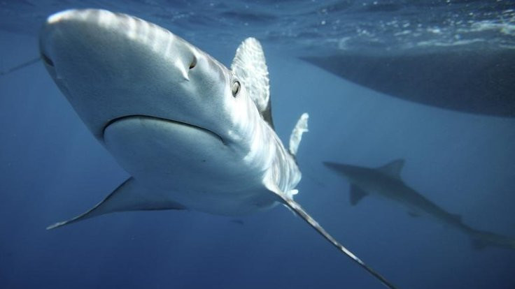 Köpekbalıklarını koruma kararı