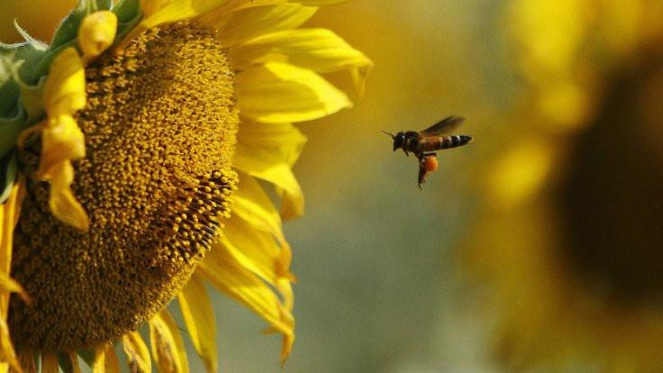 Tarım ilaçları arıları öldürüyor