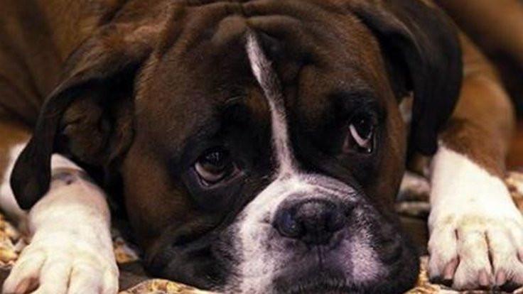 Gizemli bir hastalık köpekleri öldürüyor
