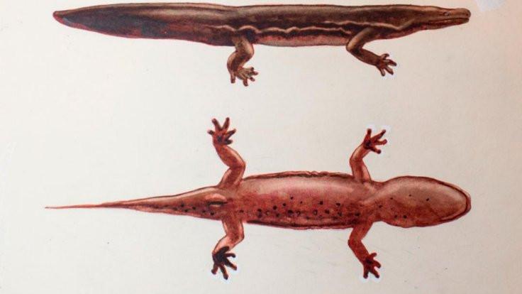 En büyük amfibik canlı!