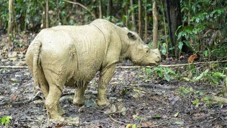 Son Sumatra gergedanı öldü