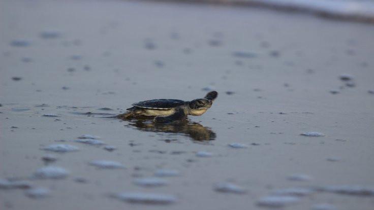 573 bin kaplumbağa denize kavuştu