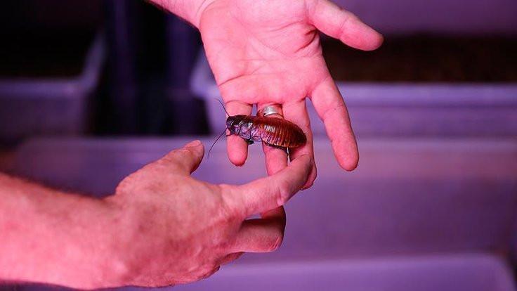Hamile hamamböceği ameliyat edildi