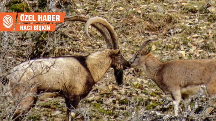 Dersim'in dağ keçileri: Xızır'ın davarını vurmayın