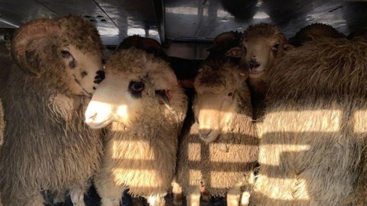 Alabora olan gemideki 180 koyunun hayatı kurtuldu: Kesilmeyecekler