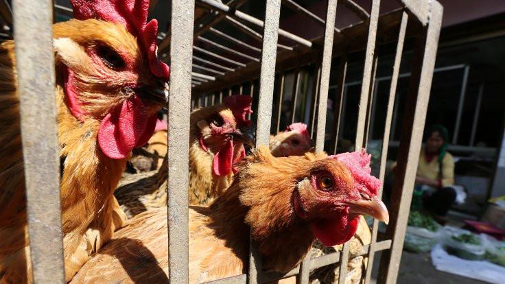 Çin'de şimdi de kuş gribi alarmı: 22 bine yakın kanatlı hayvan öldü