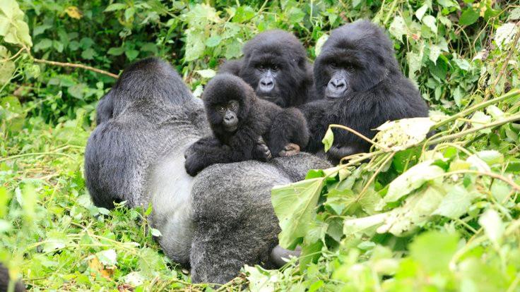 Gorillere yıldırım çarptı