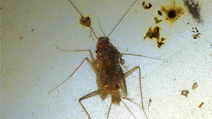 99 milyon yıllık hamamböcekleri