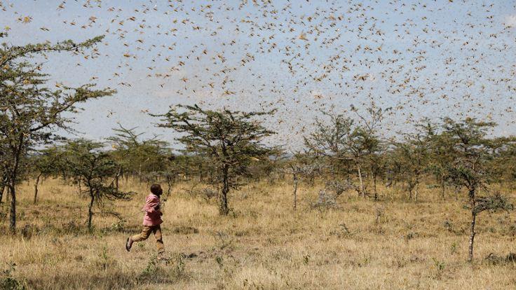 Afrika Kalkınma Bankası: Çekirge istilası gıda krizine yol açabilir