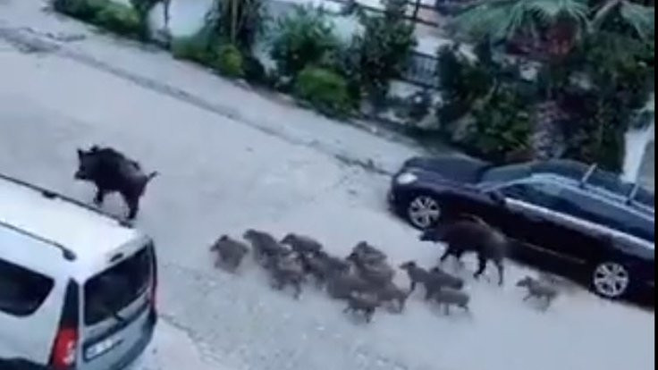 Marmaris'te domuz sürüsü