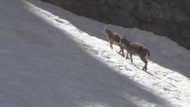 Dersim'in yaban keçileri görüntülendi