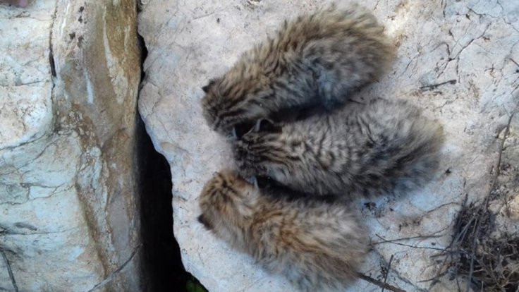 Mardin'de yaban kedisi yavruları bulundu