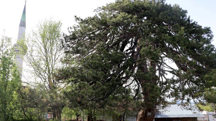 870 yıllık ağacın en sessiz bayramı
