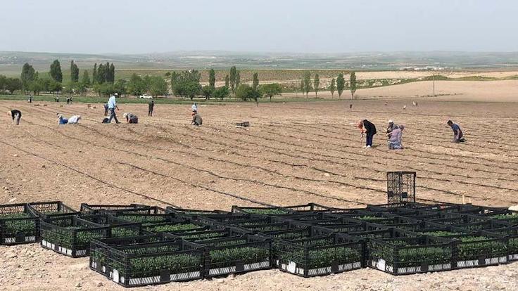 Ankara'da hasat zamanı: İhtiyaç sahiplerine dağıtılacak
