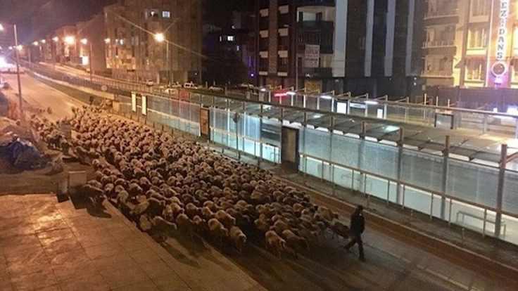 Atakum'u koyunlar bastı