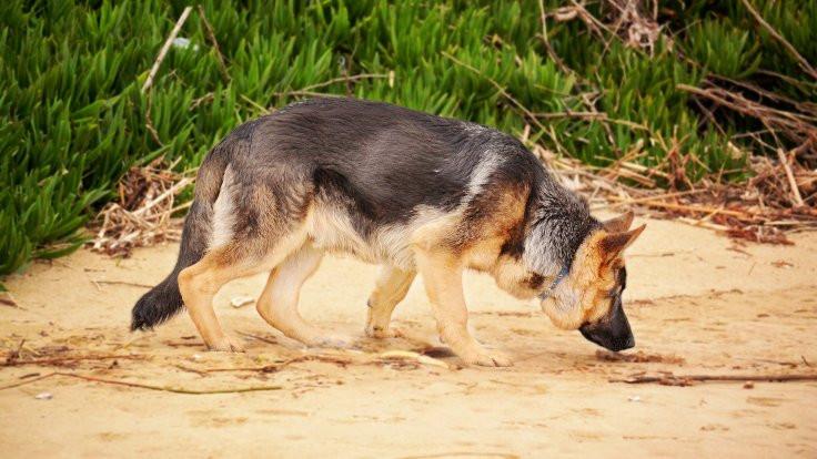 Köpeklere 'korona kokusu' için eğitim