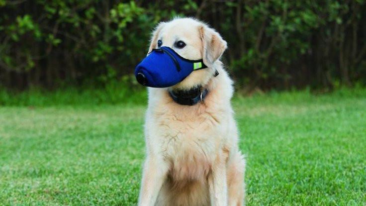 Korona avcısı köpekler eğitilecek