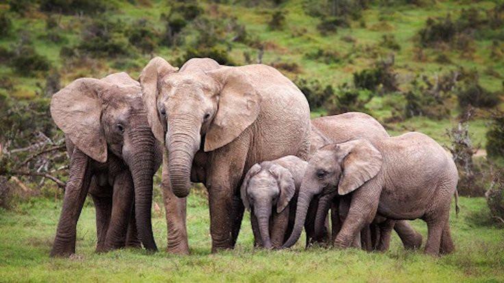 Etiyopya'da fil katliamı: Su içmeye gidiyorlardı