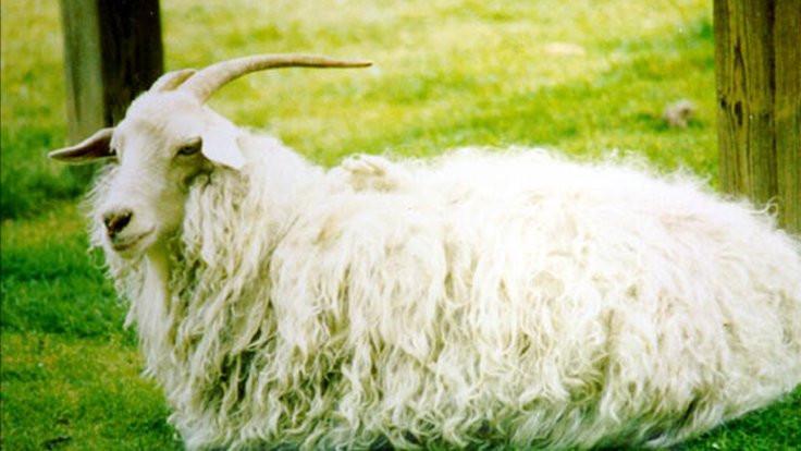 Kurt saldırdı: 116 keçi kayıp