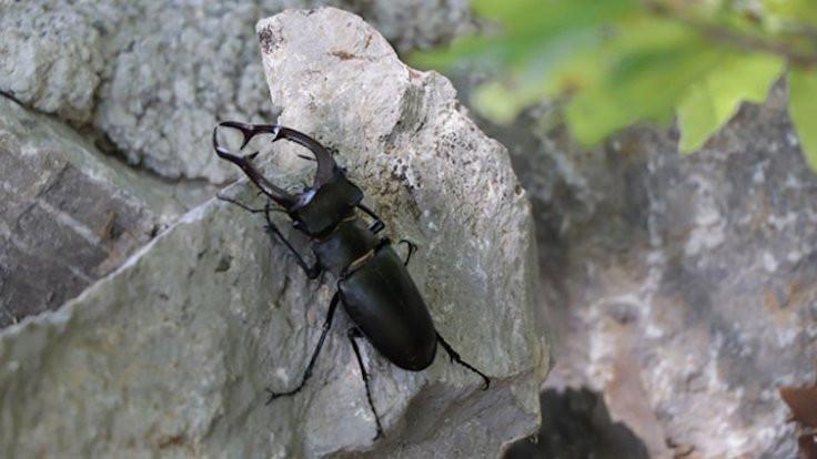 Adana'da geyik böceği görüldü