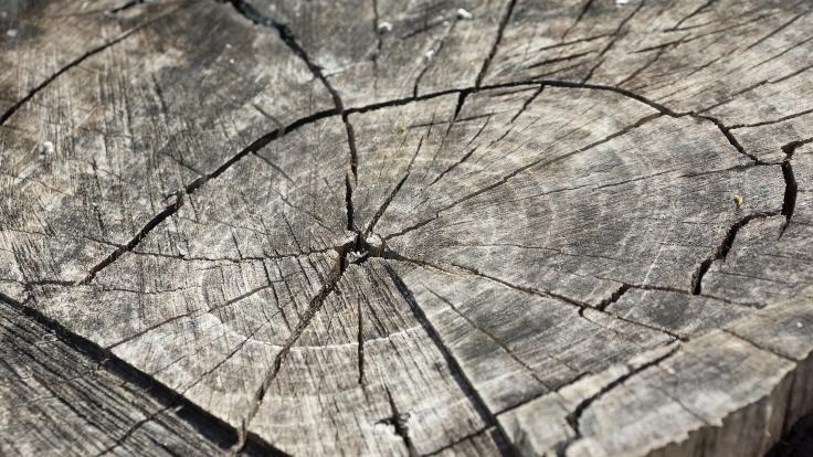 Yüzlerce yıllık ağaç halkaları ilginç bir anomaliyi ortaya çıkardı