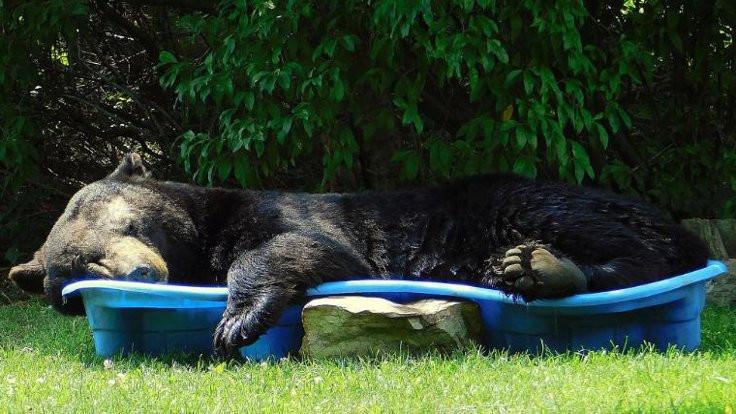 Çocuk havuzunda uyuyan dev ayı viral oldu