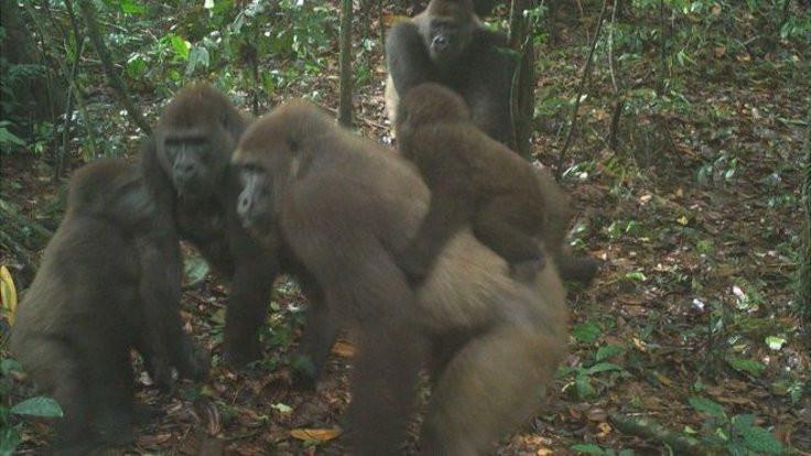 En nadir goril ve yavruları