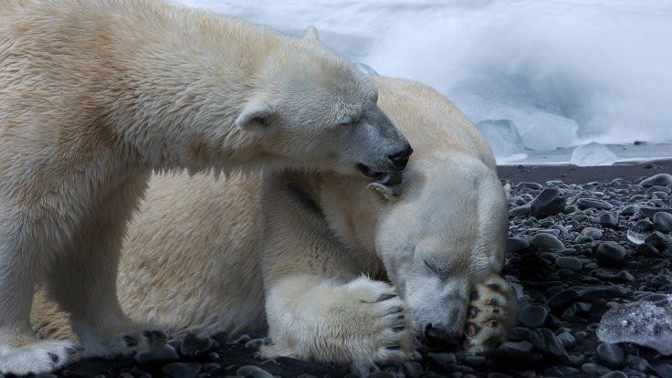Kutup ayılarının nesli 2100'e kadar tükenebilir