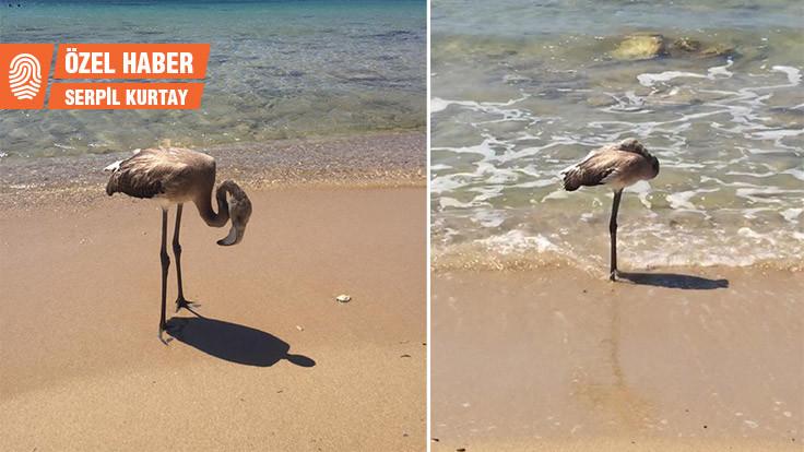 Bebek flamingo Sabit nasıl kurtuldu?